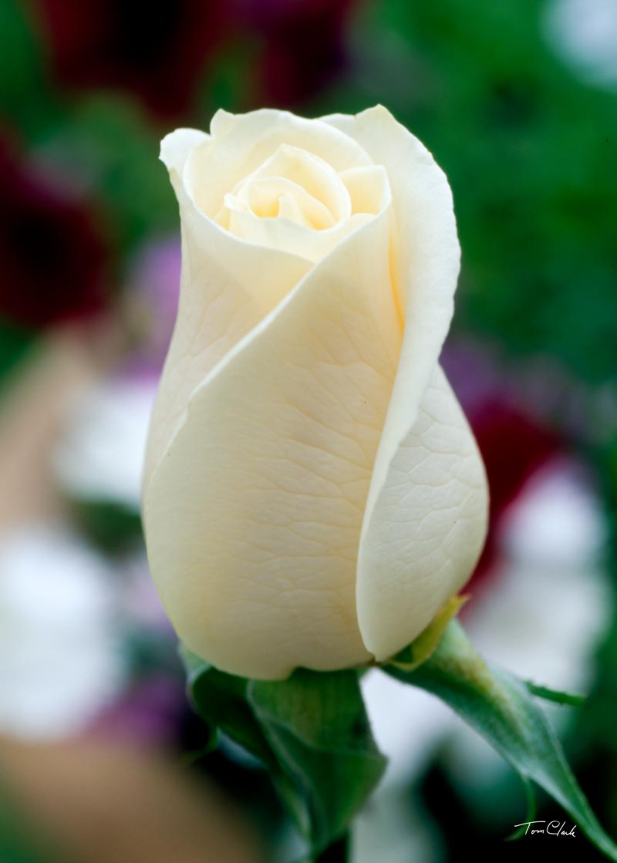 bud white